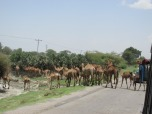 Ruta con camellos, cambia el paisaje etíope en el sur