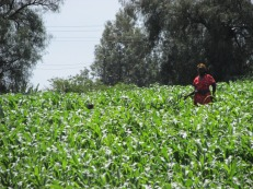 Campos de maíz en Nakuru, Kenia