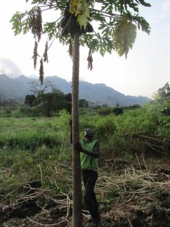 Arbol de papaya en Turiani, Tanzania