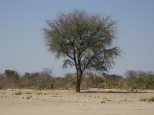 El ambiente seco de Botswana