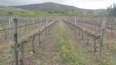 Los extensos viñedos