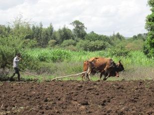 Campesino arando la tierra con un dispositivo arcaico en un pueblo cercano a la localidad de Bahir Dar.